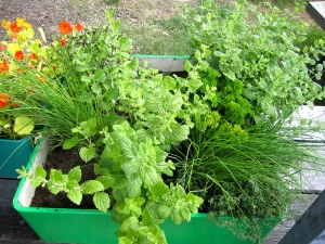 Healthy herbs by City Plot at Open Coop in the Tolhuistuin, Amsterdam