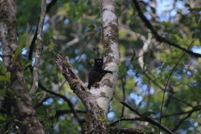 A saddleback tamarin, one of the five main primate species in the reserve.