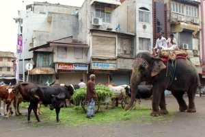 Morning feeding of cows and elephants in Ahmedabad, Gujarat.