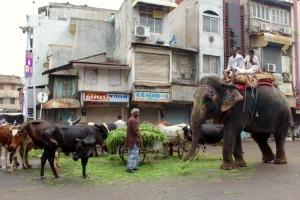 Morning feeding of cows and elephants in Ahmedabad, Gujarat.