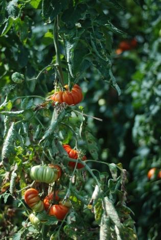 demeter (organic) tomatoes! what tomatoes should look like!