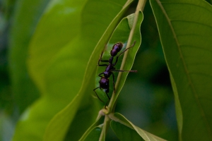 A bullet ant the size of your index finger, positively terrifying. If bitten, expect a high fever, hallucinations and uncontrollable shaking for up to 2 days.