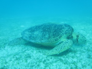 Getting to know the Green Turtles