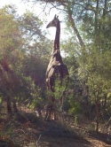 Giraffe spotted on a Game drive.