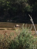 Hippopotamus seen most days by the Camp in Balule in the Olifants River.