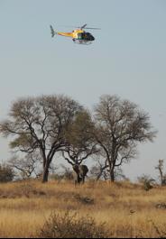 Elephant Darting Kruger