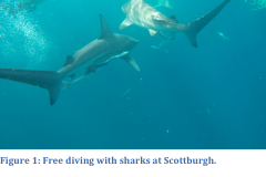 Free diving Sharks